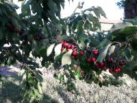 Au DOMAINE PAUL CHAMPIER dégustation de Vins et cueillette de cerises