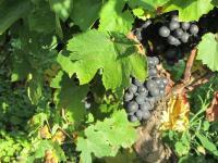 Les vignerons du Domaine Paul Champier s'affairent au pays des Brouilly