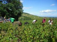 Connaissez vous les vendanges en Beaujolais ? Les vignerons du Domaine Paul Champier la recherche de bons vendangeurs !