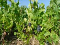Les travaux de l'été dans les vignes du Domaine Paul Champier sous une chaleur estivale.