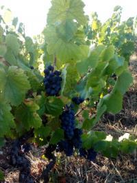 A l'approche des vendanges les raisins du Domaine Paul Champier murissent  vite.