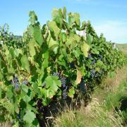 vignes raisins